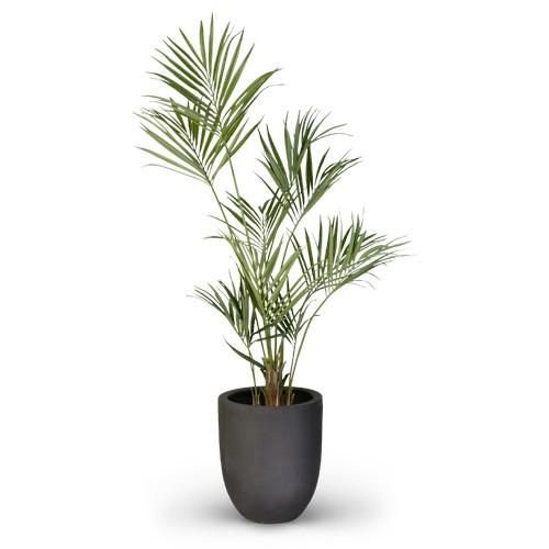 Kentia Palme - 180 cm