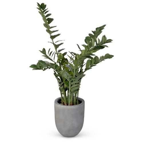 Zamifolia - 110 cm