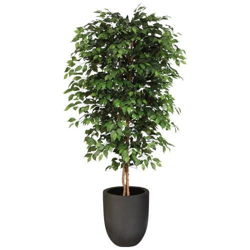 Ficus Benjamini - 180 cm